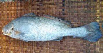 একটি মাছ লাখ টাকায় বিক্রি